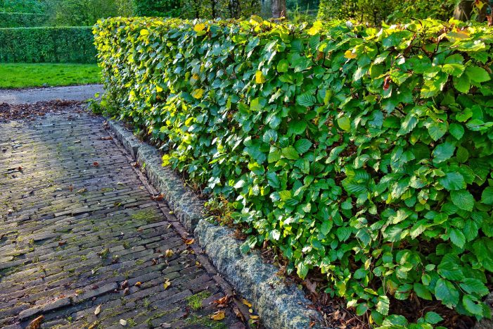Grundstücksbesitzer müssen ihre Hecken kleinhalten