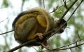 Kapuziner-Affe aus dem Zoo getürmt